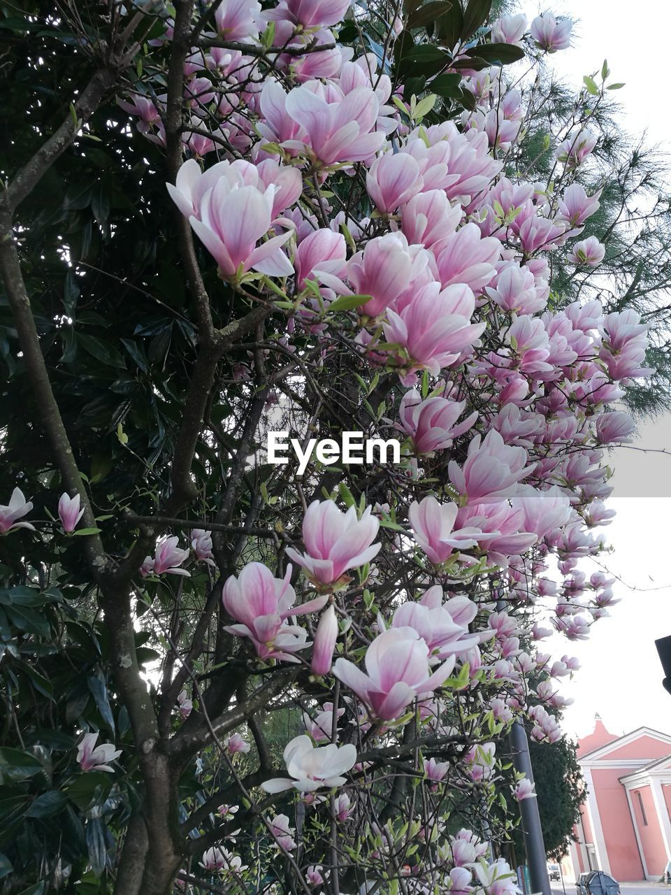 flower, growth, pink color, blossom, nature, no people, fragility, beauty in nature, tree, freshness, day, outdoors, close-up
