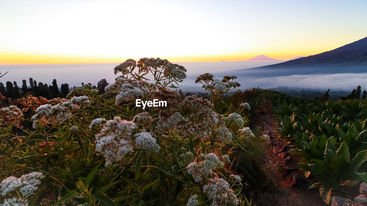 sky, beauty in nature, plant, tranquility, growth, tranquil scene, scenics - nature, sunset, nature, no people, flowering plant, flower, sea, land, water, fragility, non-urban scene, mountain, vulnerability, horizon over water