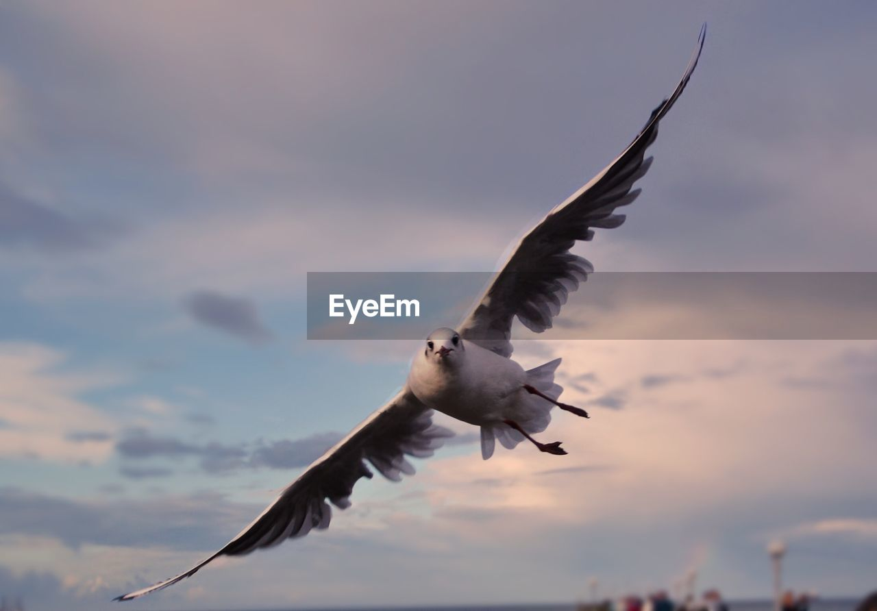 flying, spread wings, bird, animals in the wild, vertebrate, animal themes, animal wildlife, animal, sky, cloud - sky, one animal, mid-air, sunset, nature, no people, motion, low angle view, seagull, outdoors, beauty in nature