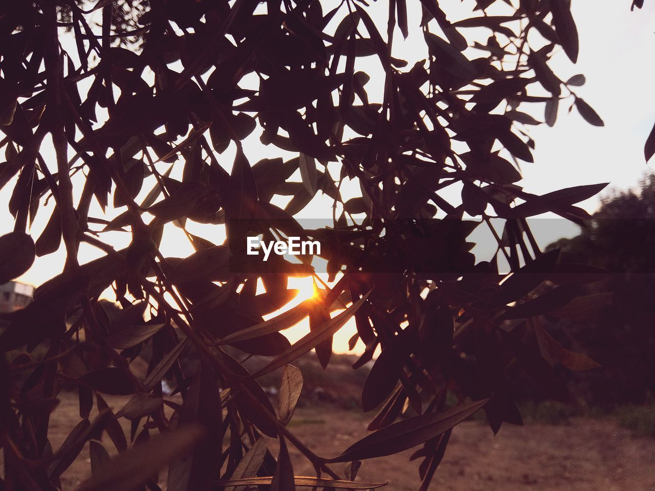 plant, sky, nature, tree, sunlight, beauty in nature, no people, growth, leaf, sun, tranquility, plant part, branch, focus on foreground, day, outdoors, close-up, sunset, silhouette, land, change, leaves, streaming