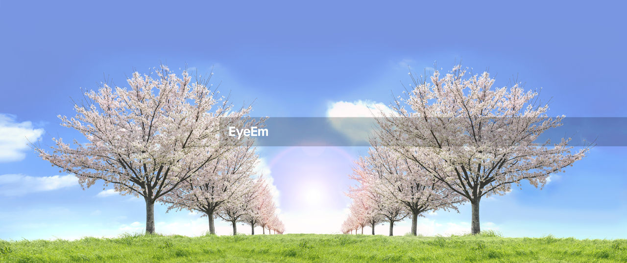 plant, sky, tree, beauty in nature, field, tranquility, nature, growth, flower, day, land, blue, scenics - nature, tranquil scene, grass, flowering plant, landscape, springtime, no people, blossom, outdoors, cherry blossom