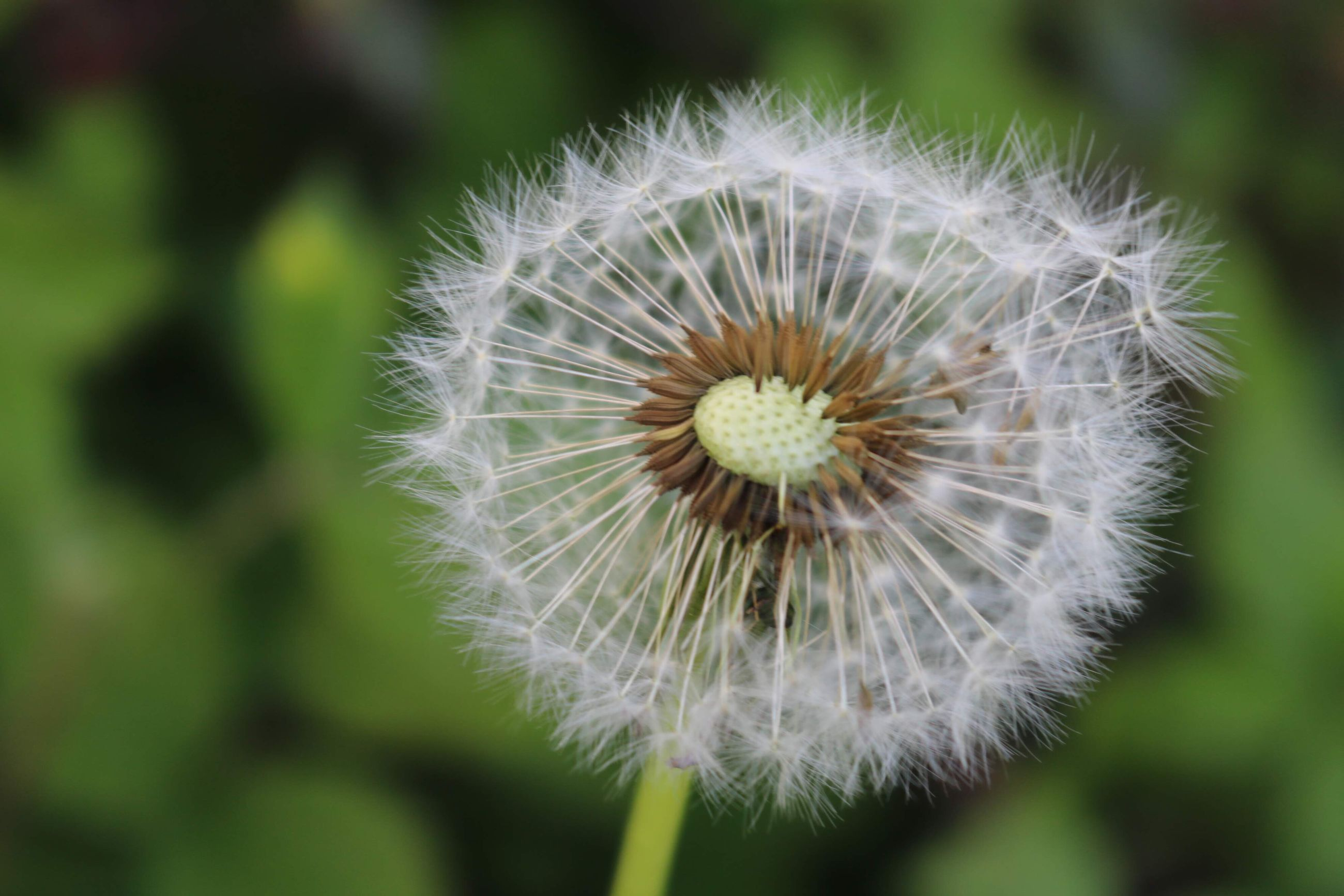CLOSE-UP OF DANDELION FLOWER OUTDOORS