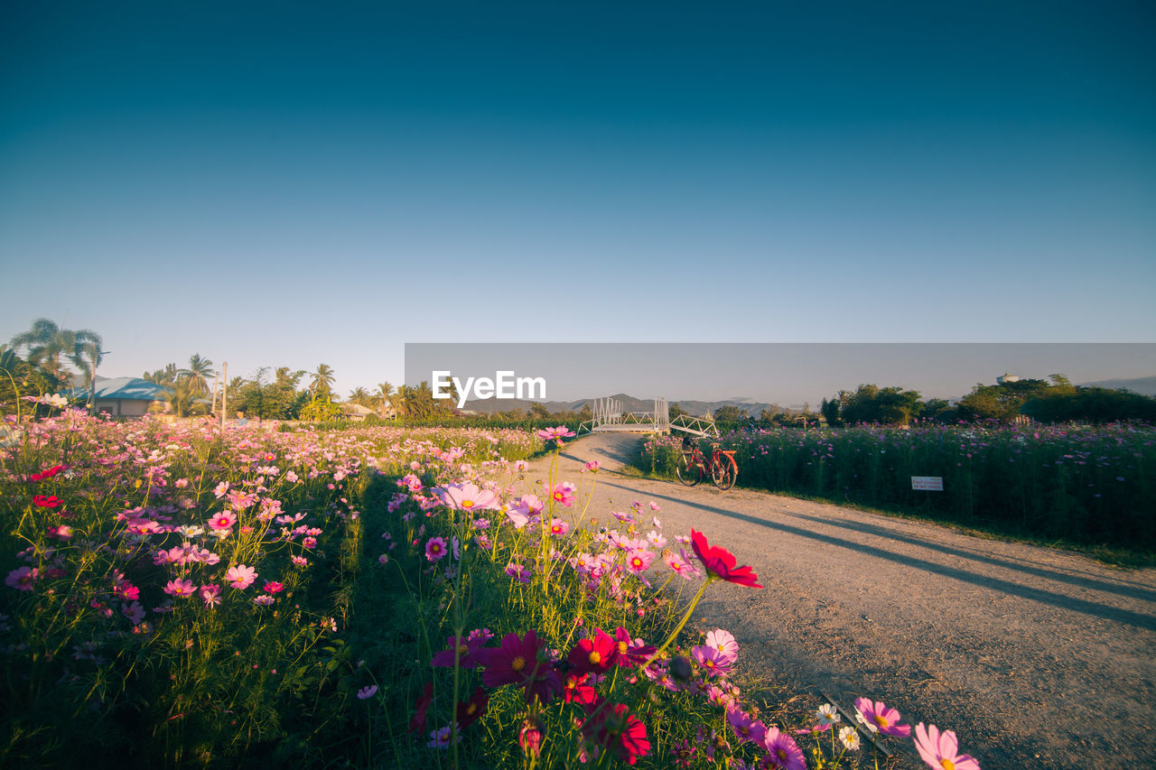 Scenic View Of Cosmos Flowers Blooming By Road Against Clear Sky