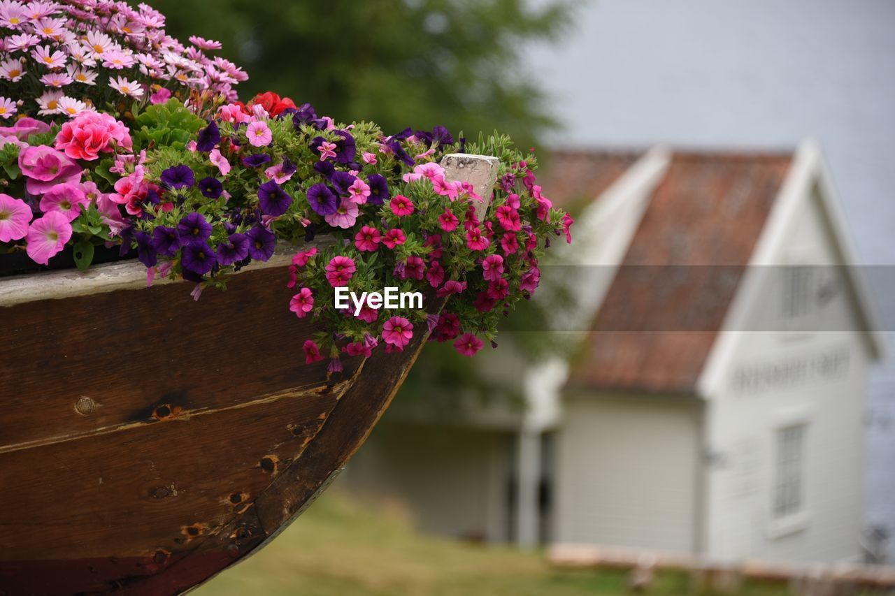 flowering plant, flower, plant, built structure, vulnerability, fragility, pink color, architecture, building exterior, freshness, house, beauty in nature, building, nature, close-up, focus on foreground, day, growth, no people, outdoors, flower head, purple