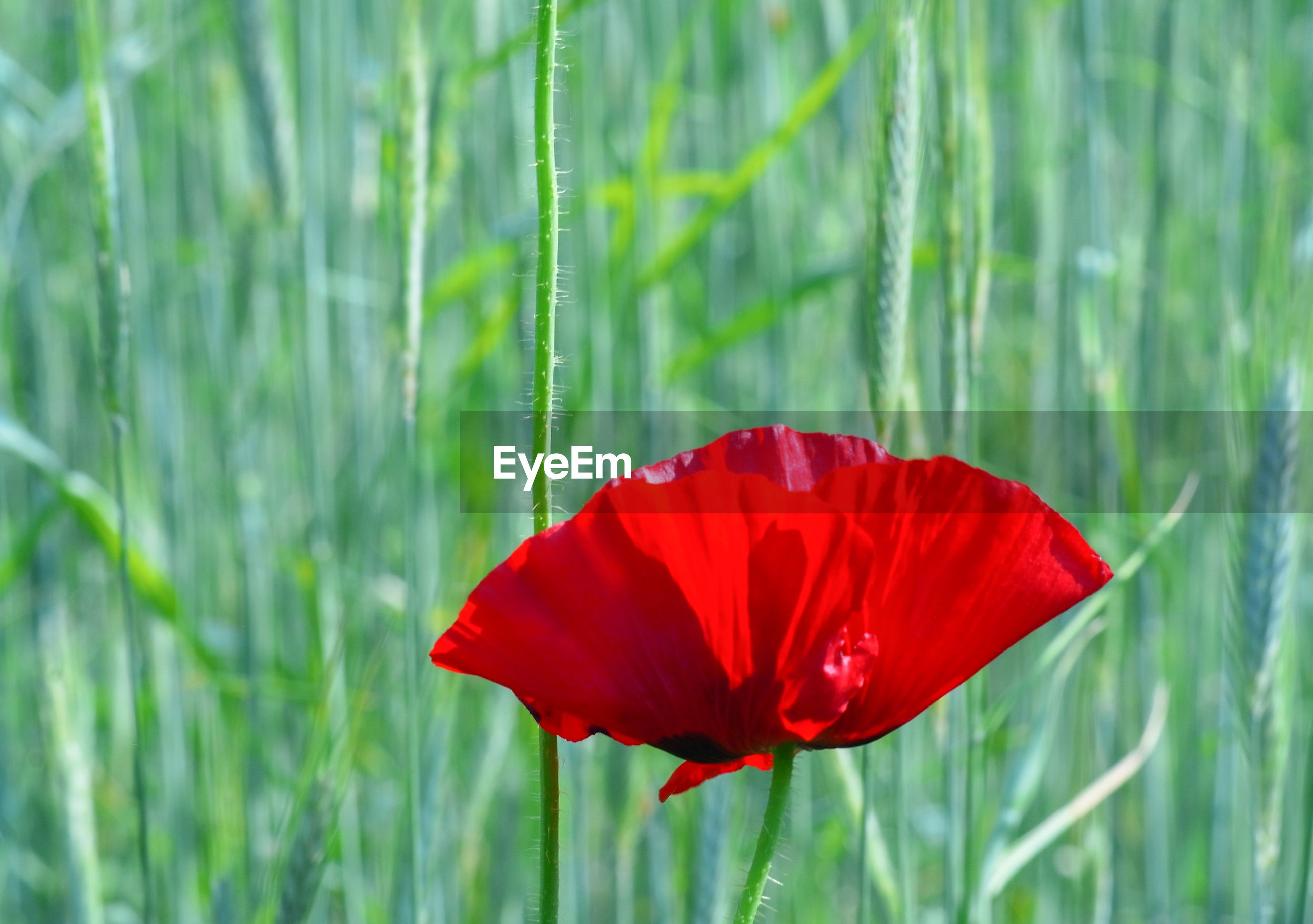 CLOSE-UP OF RED POPPY GROWING ON FIELD
