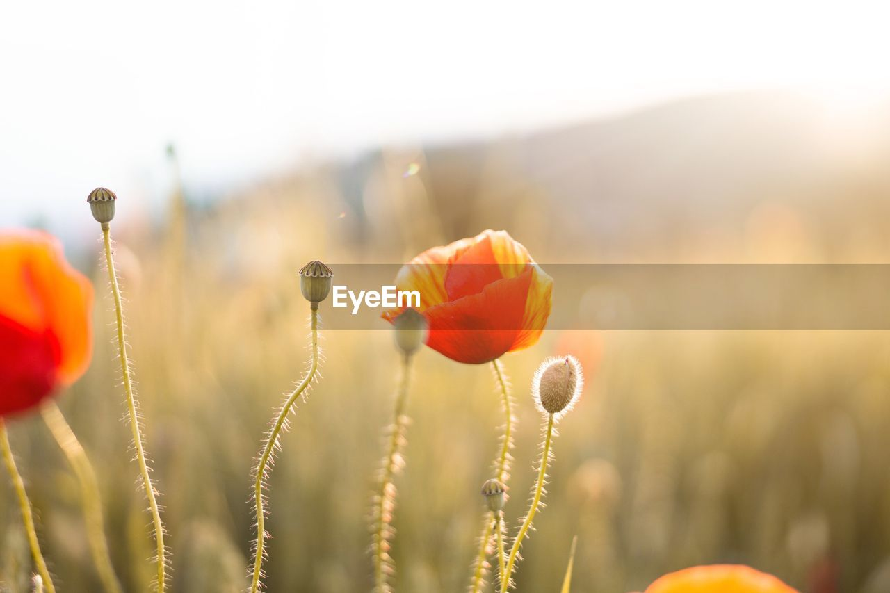CLOSE-UP OF POPPIES ON FIELD