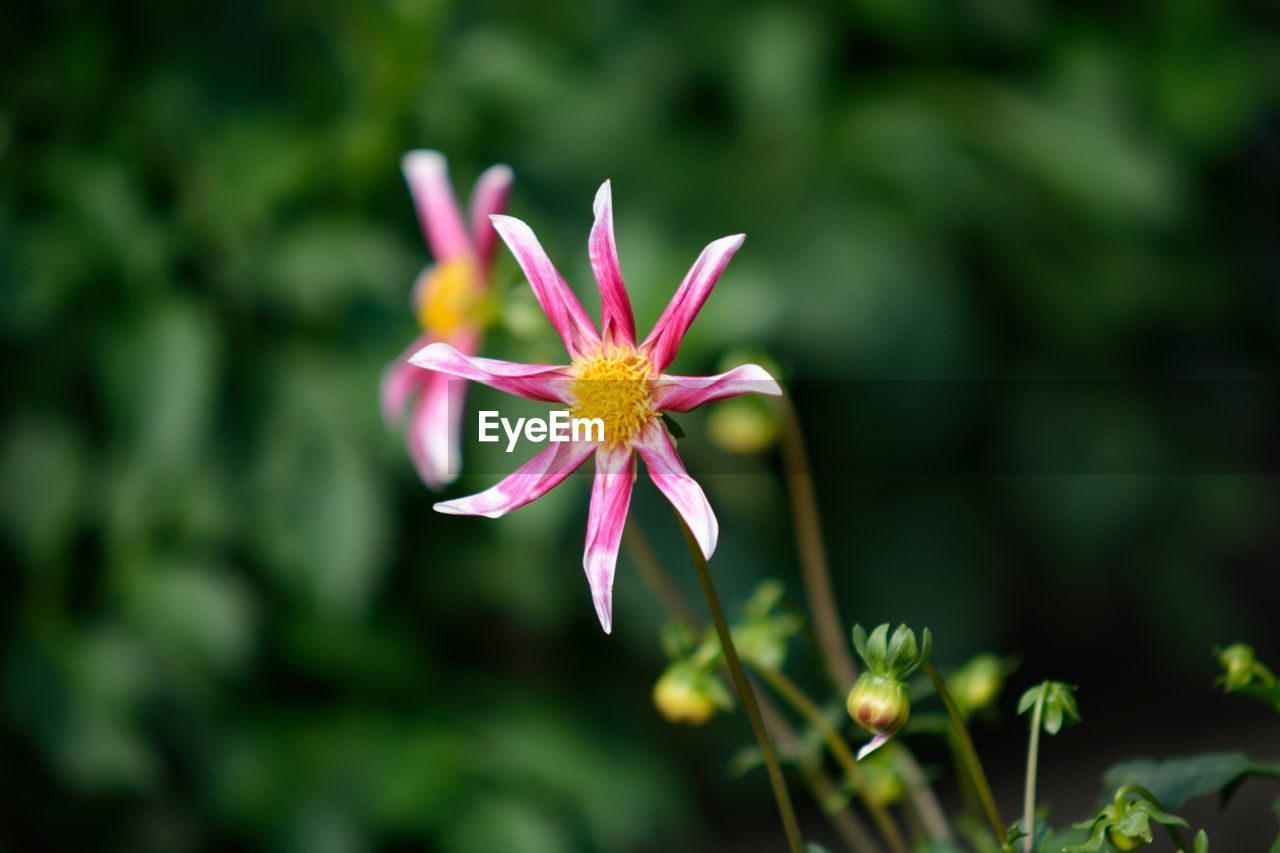 flower, petal, fragility, nature, growth, beauty in nature, flower head, plant, freshness, no people, close-up, outdoors, day, blooming