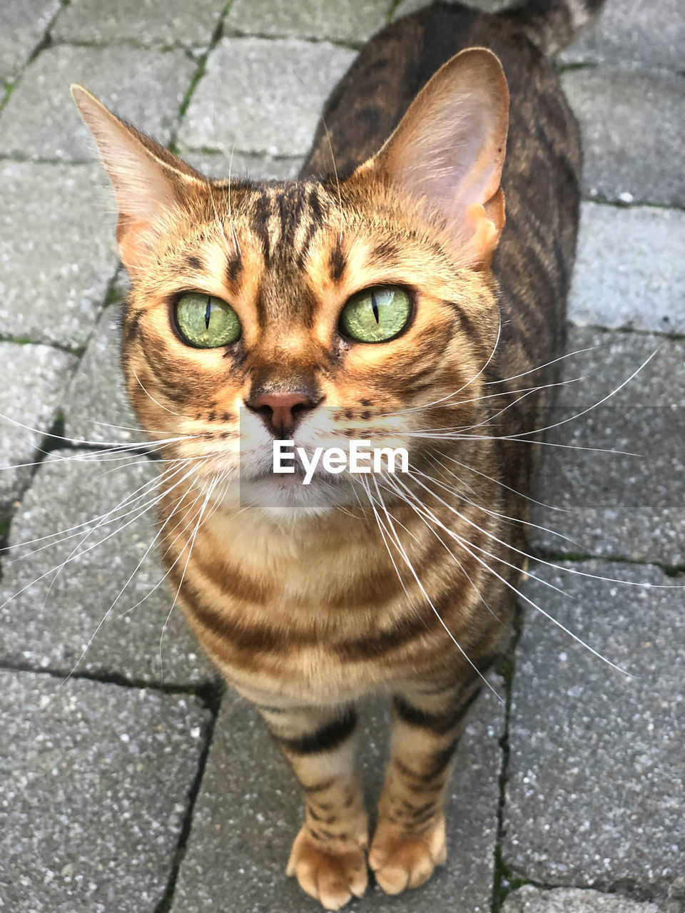 cat, domestic cat, feline, domestic, mammal, pets, domestic animals, one animal, portrait, looking at camera, whisker, vertebrate, day, footpath, no people, close-up, high angle view, animal eye, paving stone, tabby, ginger cat