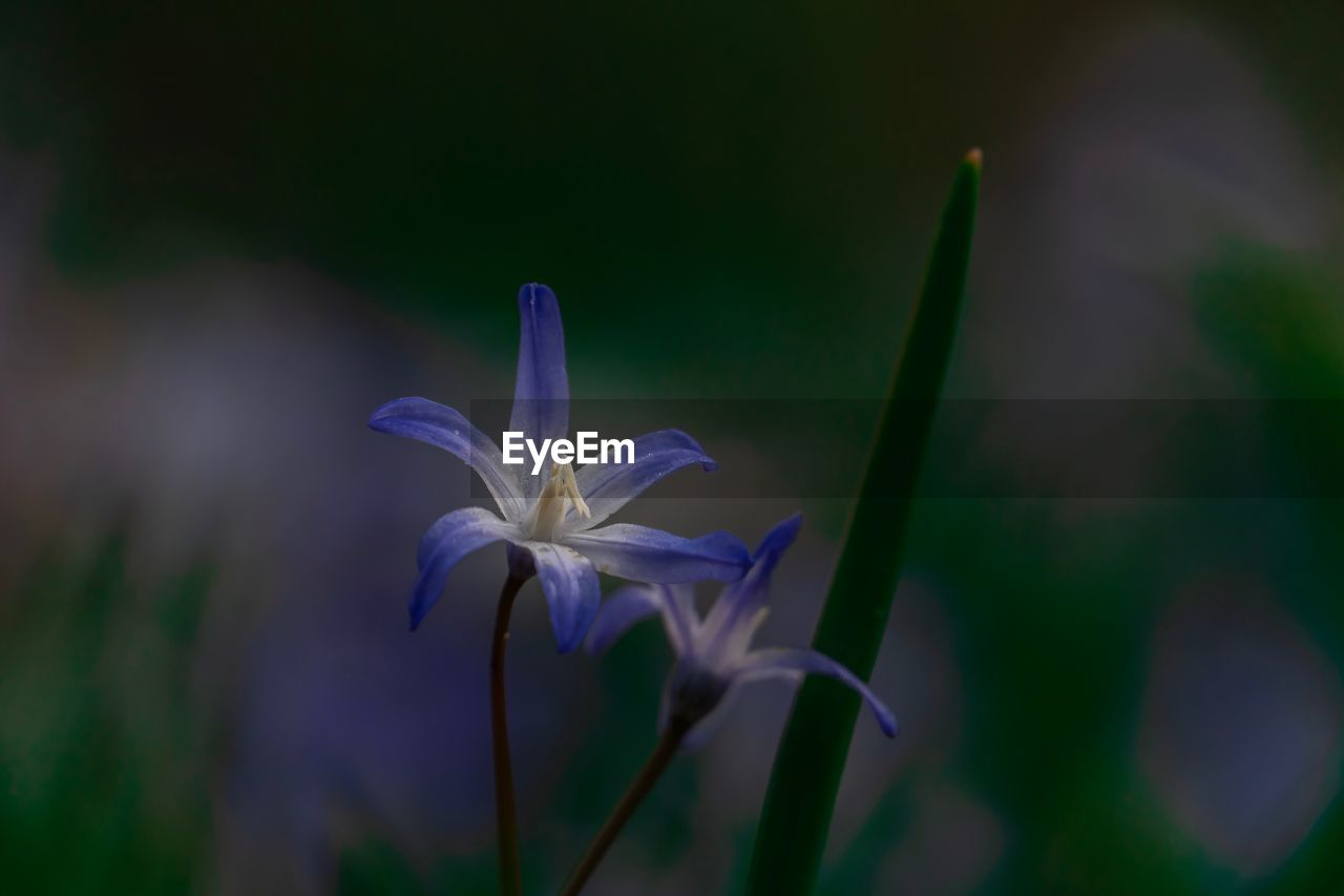 flowering plant, flower, plant, growth, vulnerability, fragility, freshness, beauty in nature, petal, close-up, inflorescence, flower head, focus on foreground, no people, nature, day, pollen, outdoors, white color, purple
