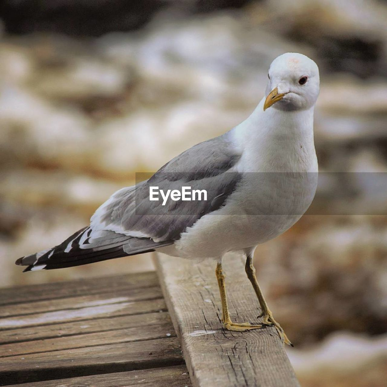 bird, one animal, animal themes, animals in the wild, animal wildlife, focus on foreground, perching, day, no people, wood - material, seagull, outdoors, close-up, nature