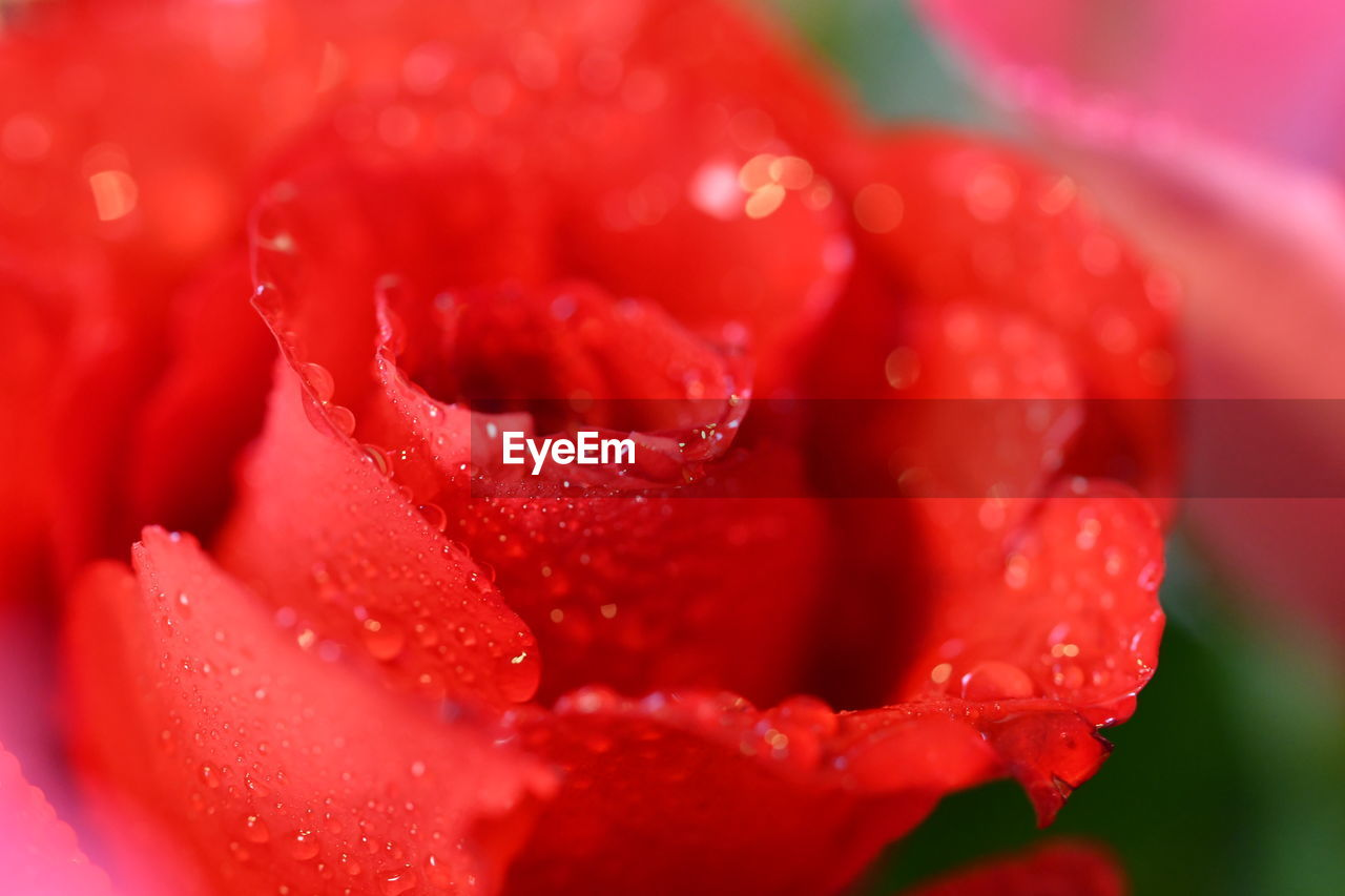 drop, wet, flower, water, petal, red, freshness, nature, fragility, beauty in nature, flower head, close-up, growth, raindrop, selective focus, rose - flower, no people, droplet, purity, plant, blooming, outdoors, day
