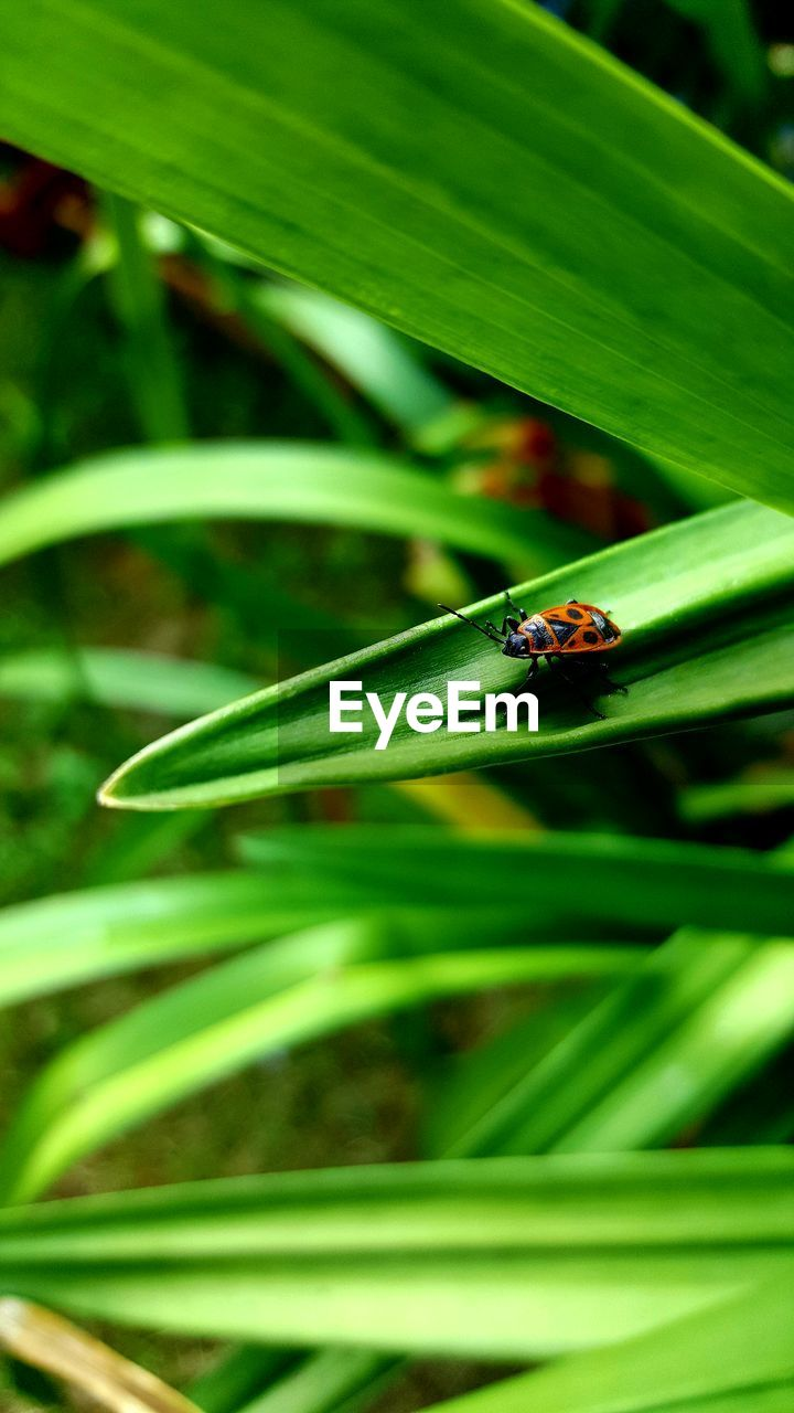 animal themes, animals in the wild, one animal, animal wildlife, animal, invertebrate, insect, green color, plant, close-up, plant part, leaf, no people, day, nature, focus on foreground, growth, beauty in nature, ladybug, beetle, outdoors, blade of grass