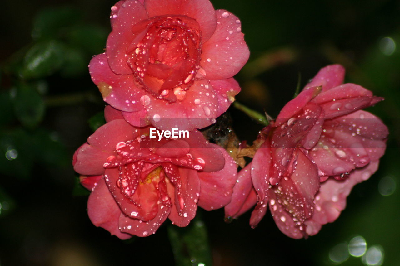 Close-up of wet pink flowers blooming outdoors