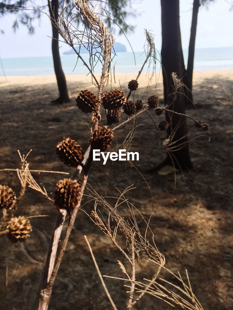 plant, focus on foreground, nature, land, tranquility, day, close-up, growth, beauty in nature, field, outdoors, dry, no people, sky, dried plant, water, sunlight, fragility, plant stem, dead plant, wilted plant, dried