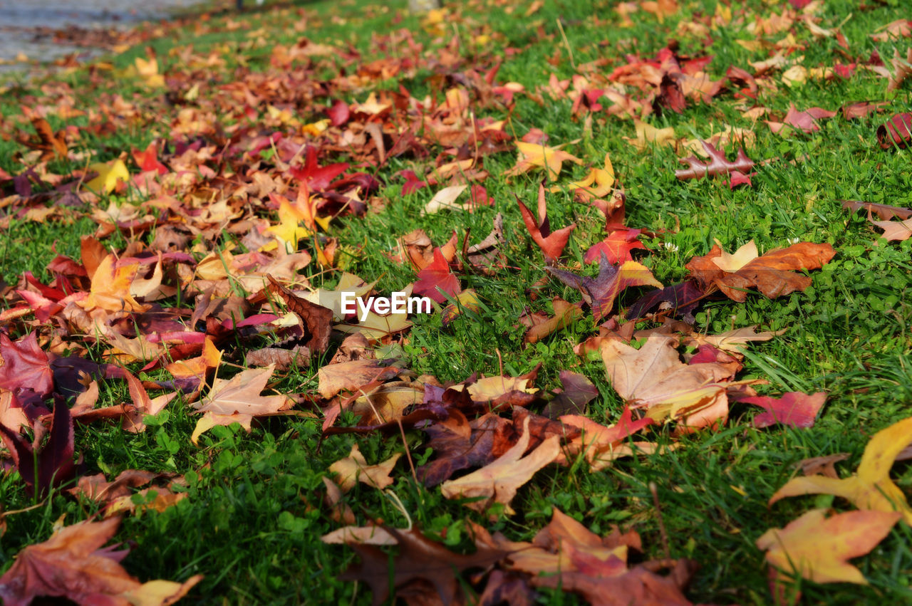 autumn, leaf, change, leaves, nature, beauty in nature, dry, fallen, outdoors, maple leaf, field, day, maple, grass, no people, fragility, close-up