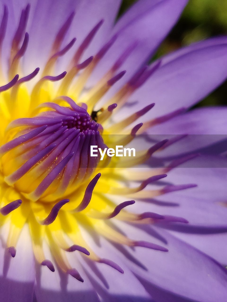 flowering plant, flower, petal, vulnerability, fragility, freshness, flower head, inflorescence, beauty in nature, plant, growth, close-up, pollen, nature, purple, no people, yellow, day, pink color