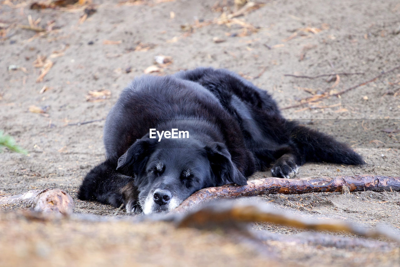 animal themes, mammal, animal, one animal, domestic, relaxation, pets, domestic animals, black color, canine, lying down, vertebrate, selective focus, dog, no people, day, nature, land, resting, field