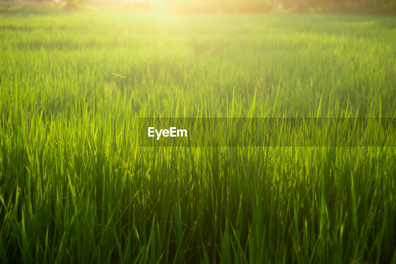 growth, field, green color, plant, landscape, grass, land, nature, no people, rural scene, agriculture, beauty in nature, tranquility, crop, environment, cereal plant, farm, day, full frame, tranquil scene, outdoors, blade of grass