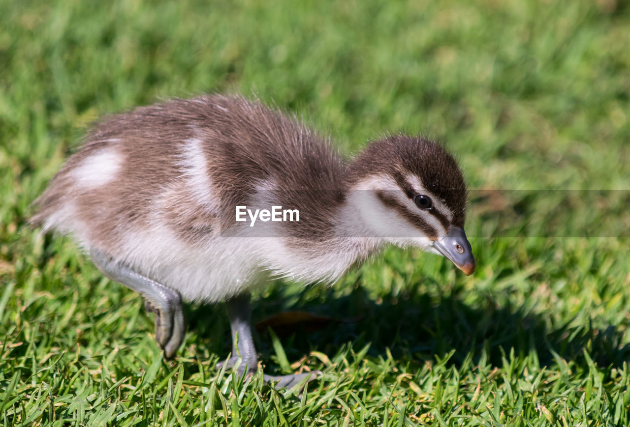 animal, animal themes, animal wildlife, one animal, animals in the wild, vertebrate, grass, field, bird, land, green color, plant, nature, young animal, no people, young bird, day, focus on foreground, side view, close-up, gosling