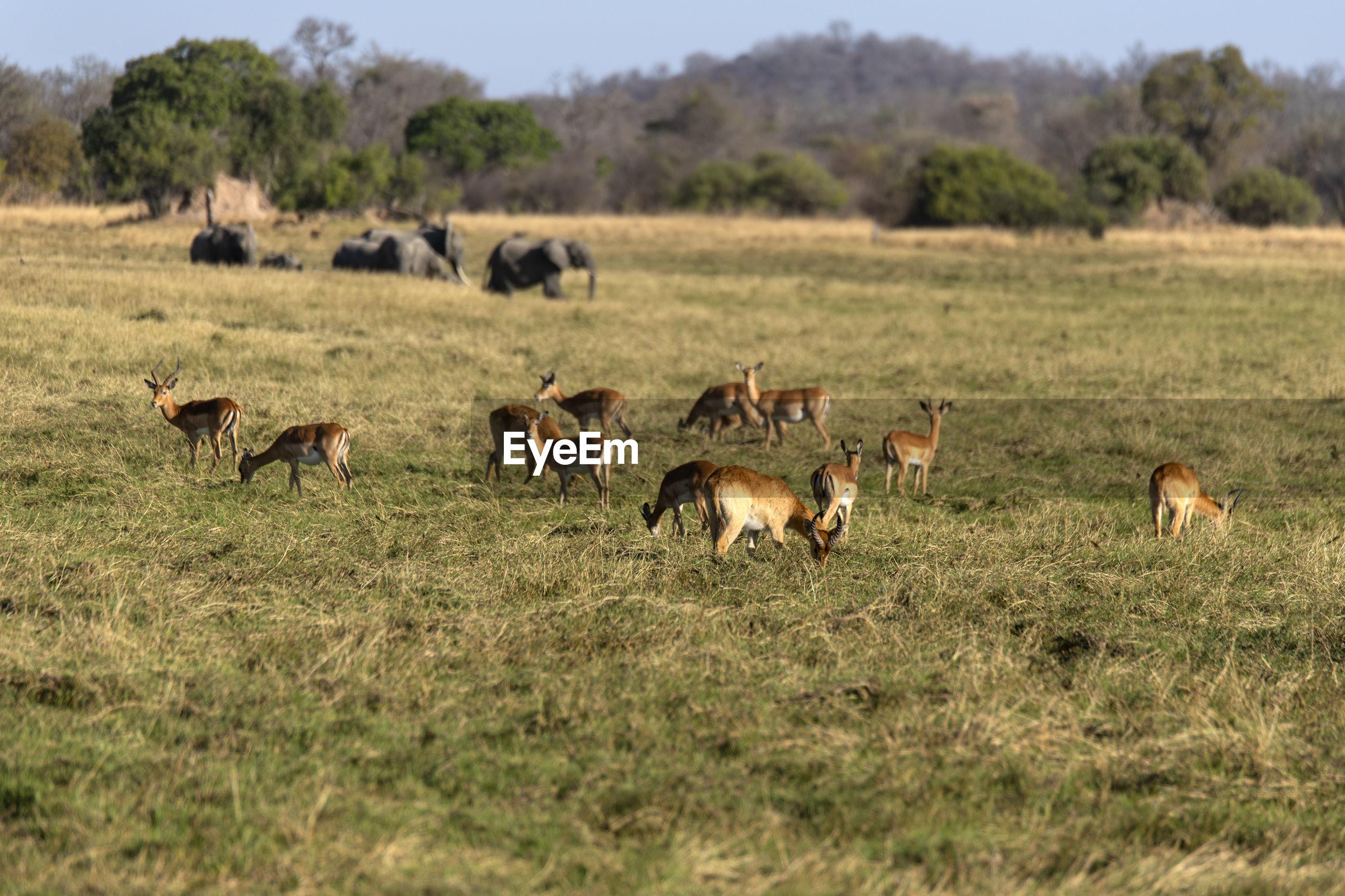Flock of impala in a field