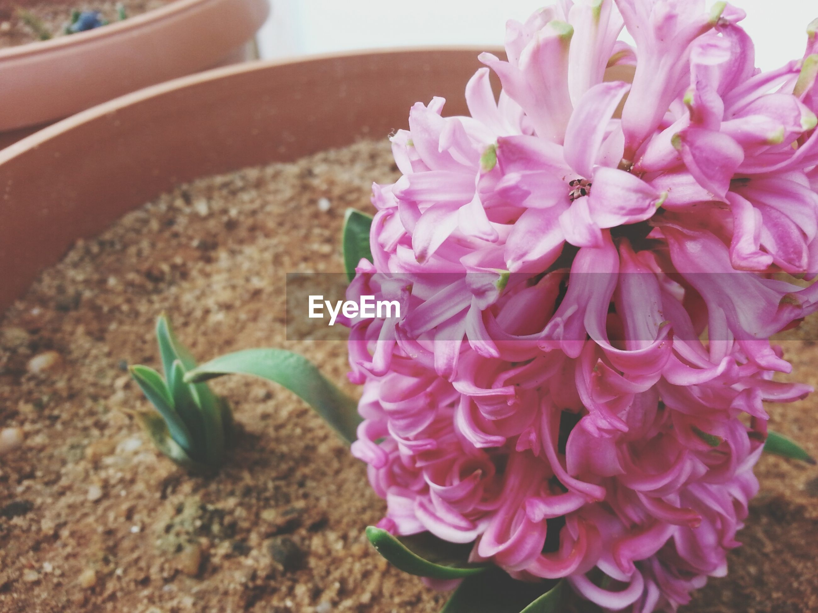 flower, freshness, fragility, petal, close-up, pink color, flower head, growth, beauty in nature, focus on foreground, plant, nature, blooming, potted plant, no people, day, high angle view, outdoors, in bloom, park - man made space