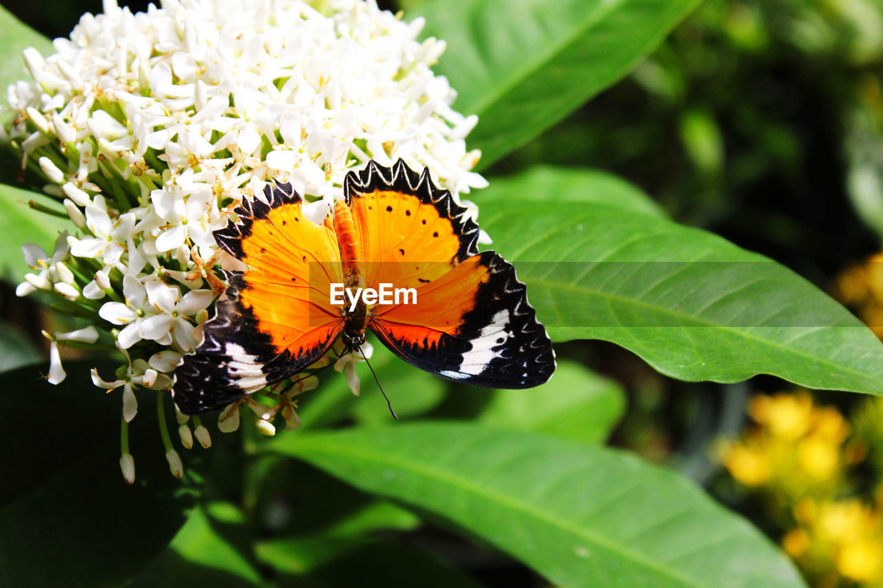 insect, invertebrate, animal wildlife, animal themes, animal, leaf, beauty in nature, animals in the wild, one animal, plant part, flower, animal wing, butterfly - insect, plant, flowering plant, close-up, growth, nature, vulnerability, fragility, no people, flower head, outdoors, pollination, lantana, butterfly