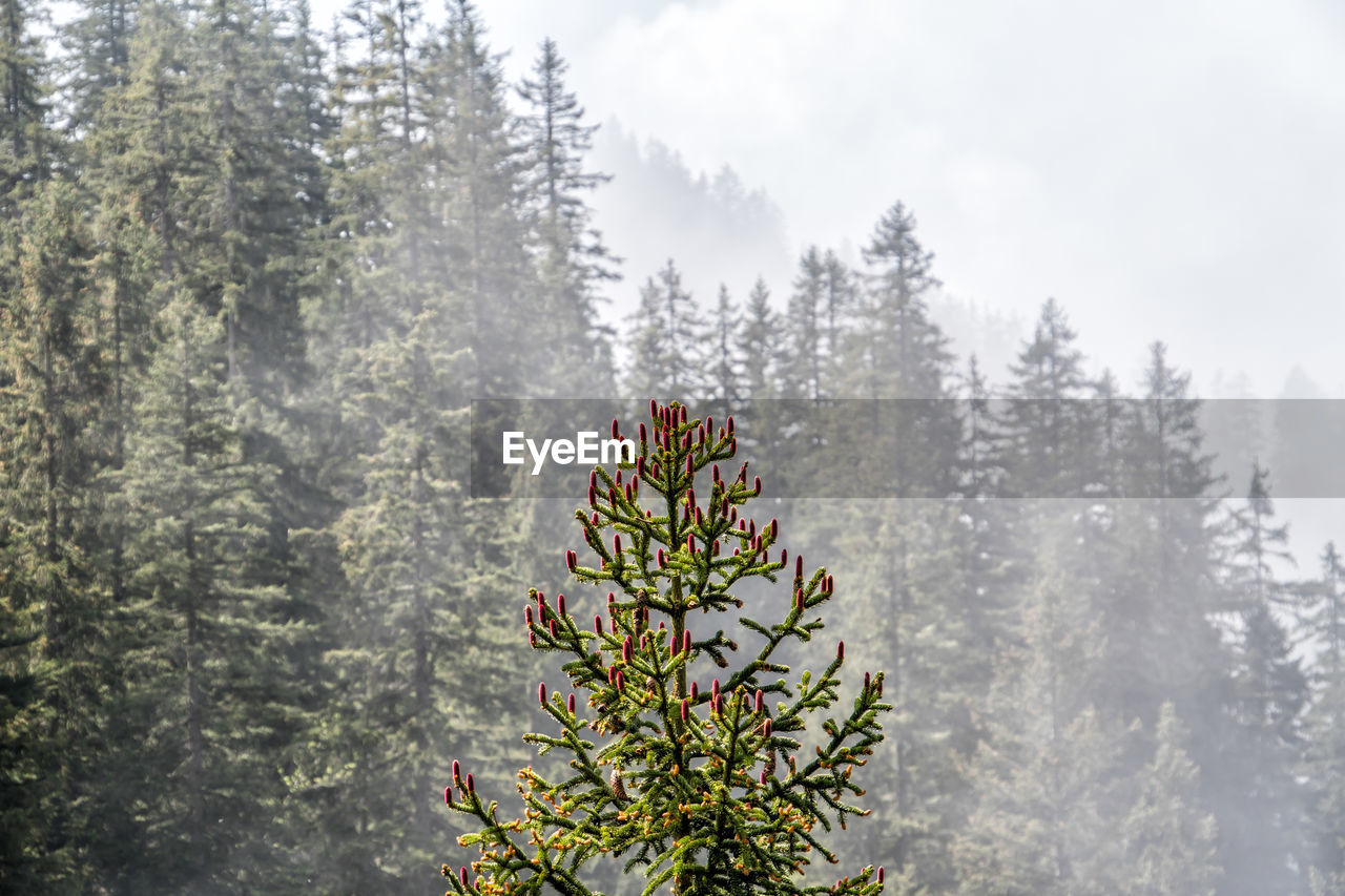 plant, tree, nature, beauty in nature, growth, fog, pine tree, day, winter, scenics - nature, tranquility, cold temperature, coniferous tree, land, forest, tranquil scene, no people, mountain, snow, outdoors, evergreen tree, snowing