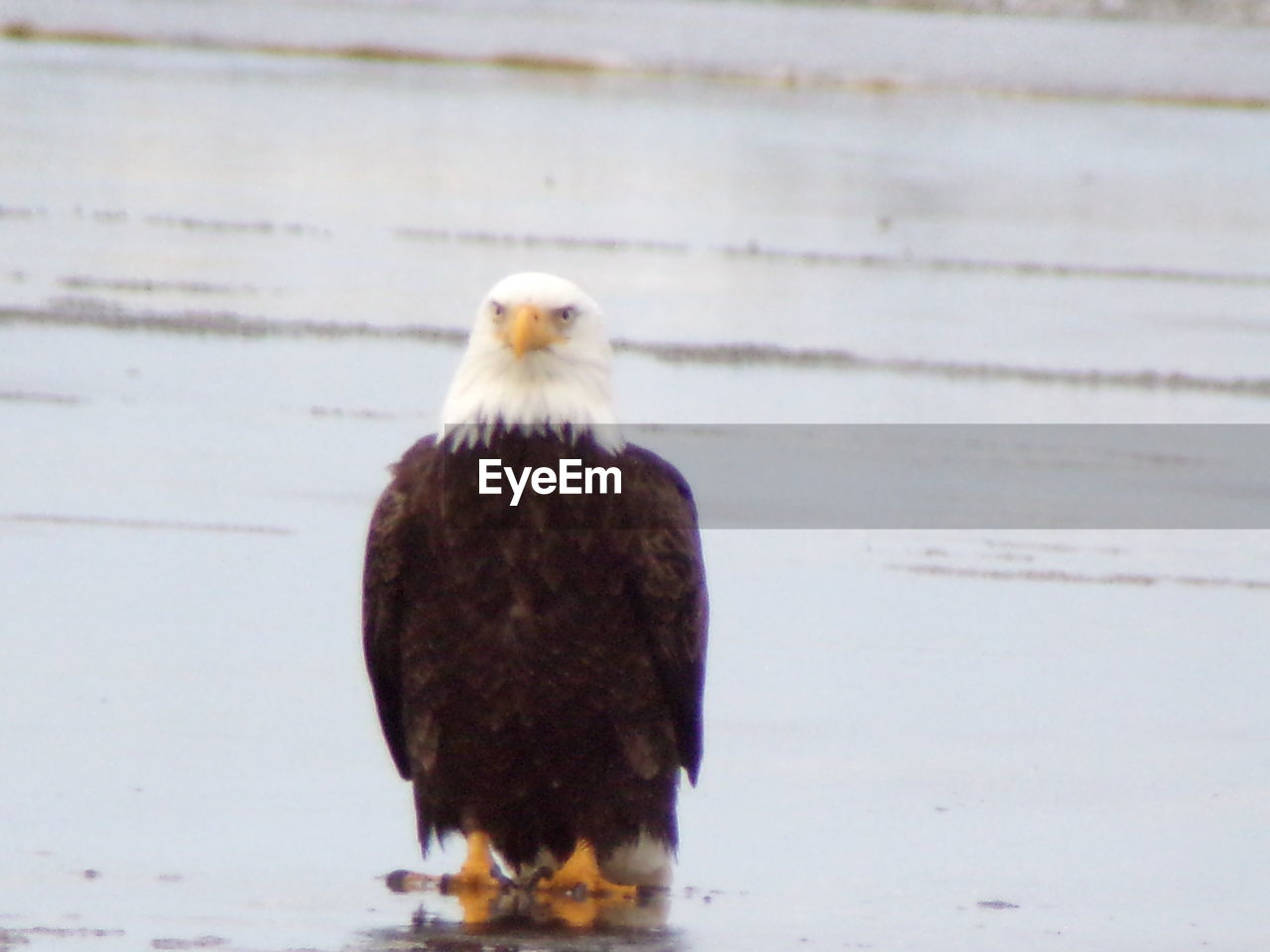 bird, one animal, animal themes, nature, bald eagle, no people, animals in the wild, day, close-up, outdoors, perching, bird of prey, beauty in nature