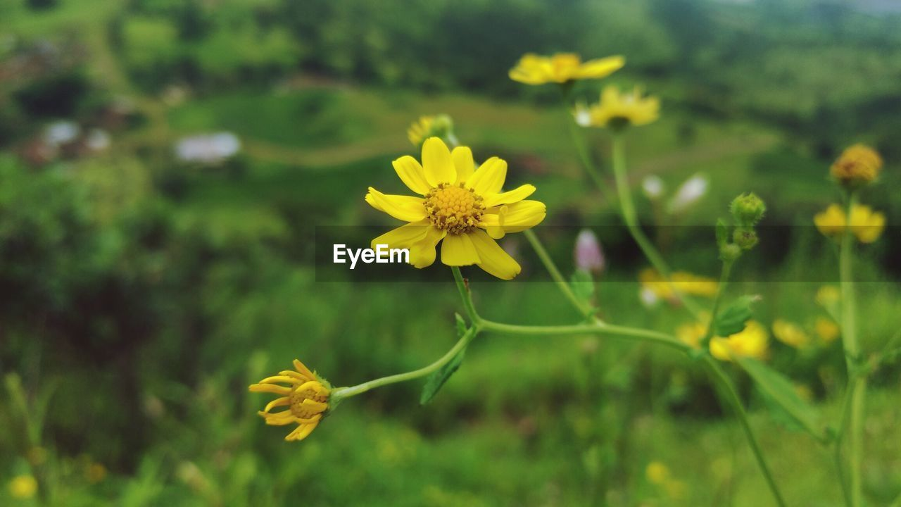 flower, yellow, fragility, nature, growth, petal, beauty in nature, freshness, plant, flower head, blooming, field, outdoors, no people, close-up, day