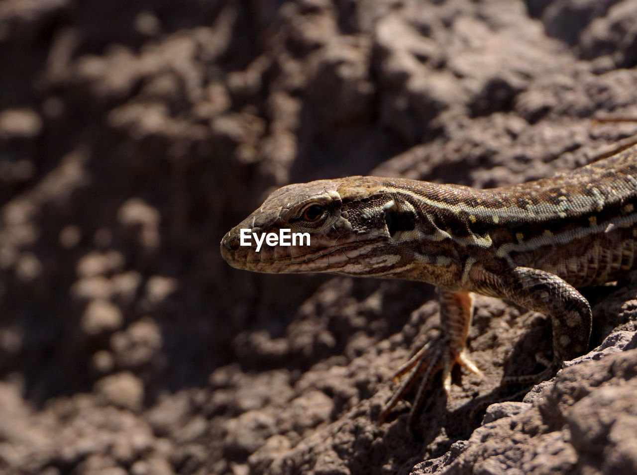 reptile, animal themes, animal, animal wildlife, one animal, vertebrate, animals in the wild, lizard, close-up, no people, focus on foreground, animal body part, day, nature, animal head, land, zoology, sunlight, side view, outdoors, animal eye, animal scale