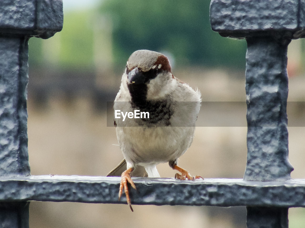 bird, animal themes, focus on foreground, animal, vertebrate, animal wildlife, animals in the wild, perching, close-up, one animal, day, no people, front view, railing, nature, outdoors, sparrow, boundary, looking at camera, metal