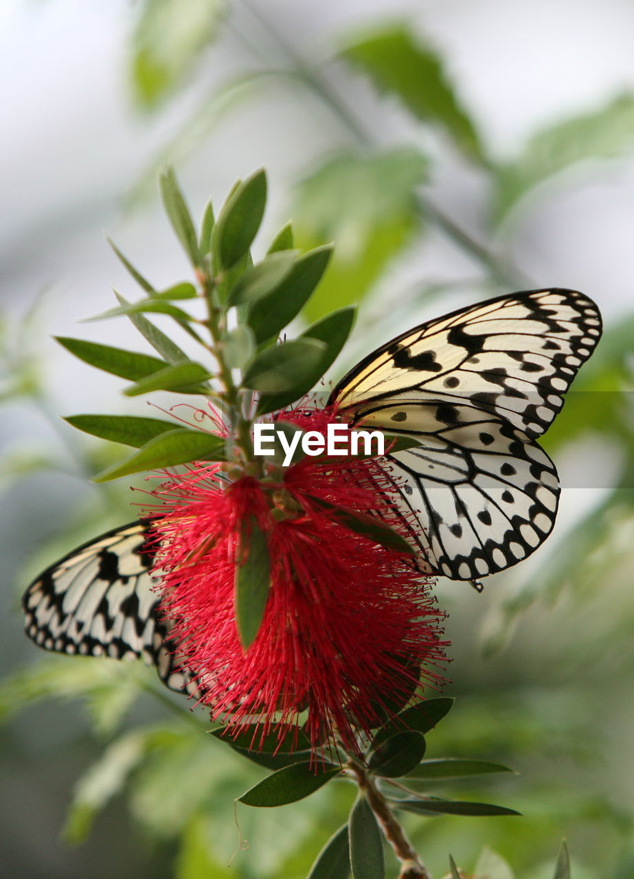 Close-up of butterfly pollinating red flower
