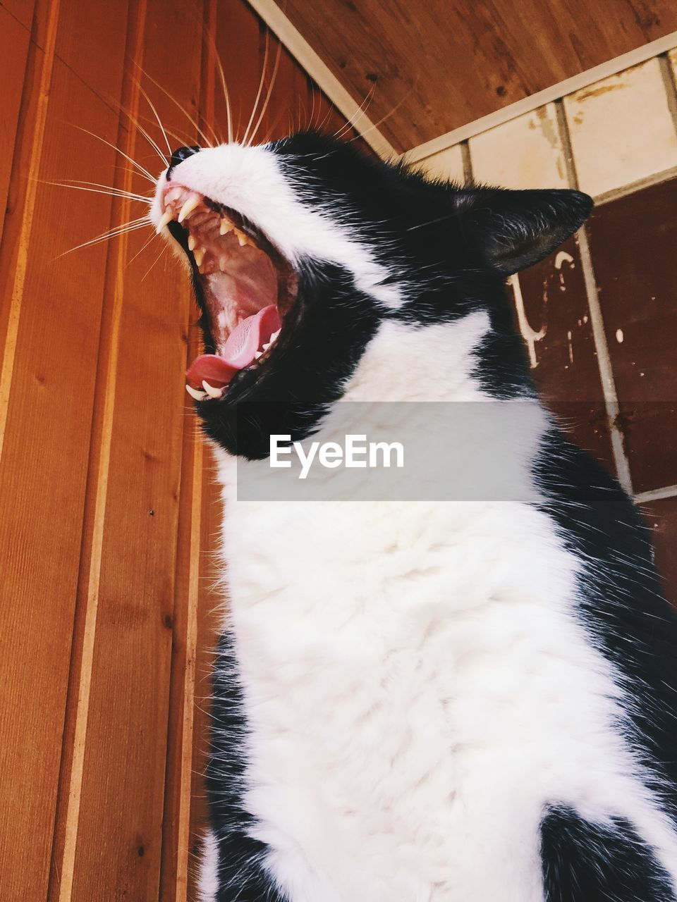 domestic animals, pets, domestic, mammal, one animal, animal, animal themes, cat, domestic cat, vertebrate, feline, mouth open, mouth, whisker, indoors, close-up, no people, yawning, white color, home interior, animal mouth