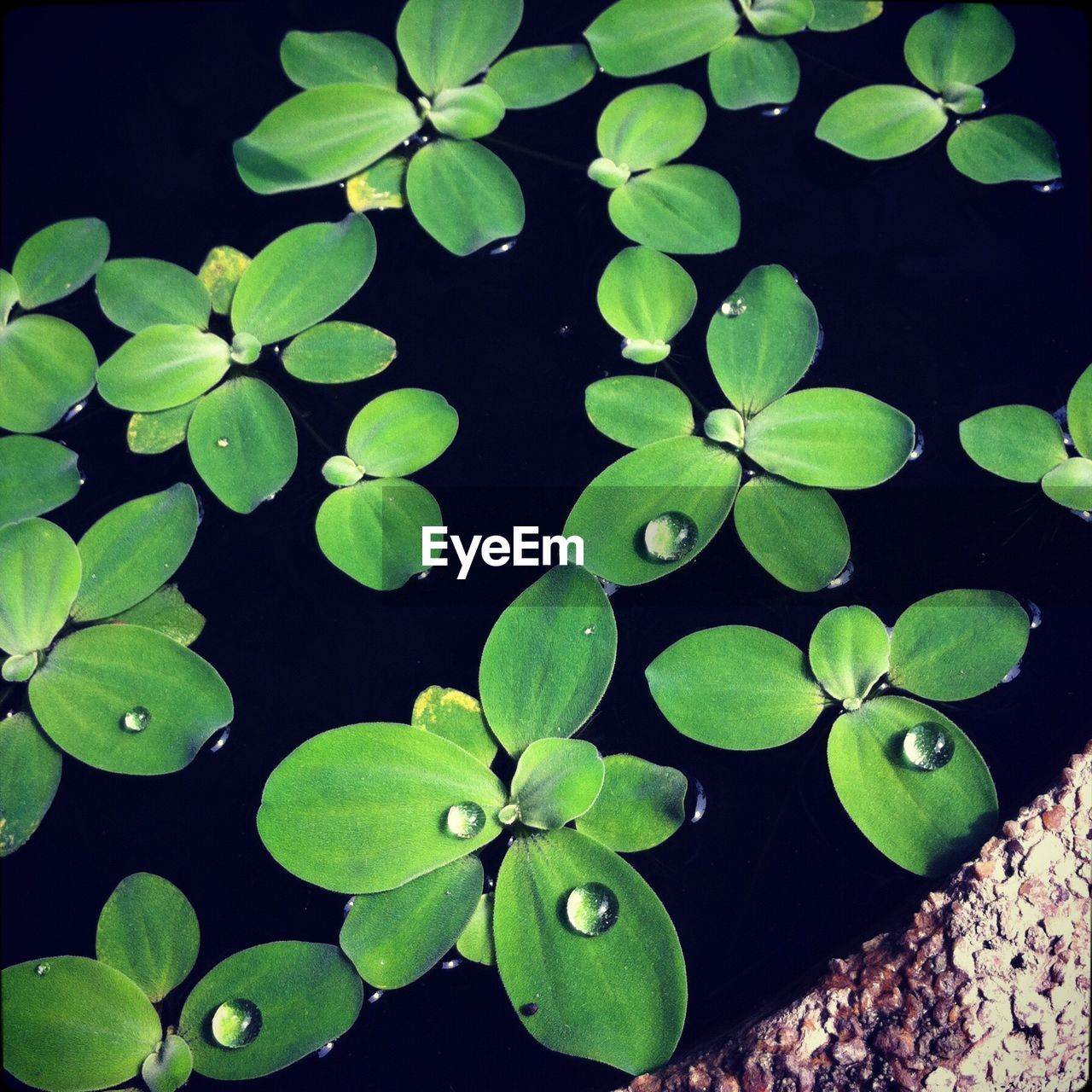 leaf, growth, green color, plant, beauty in nature, nature, freshness, no people, day, fragility, outdoors, water, lily pad, close-up, periwinkle, flower