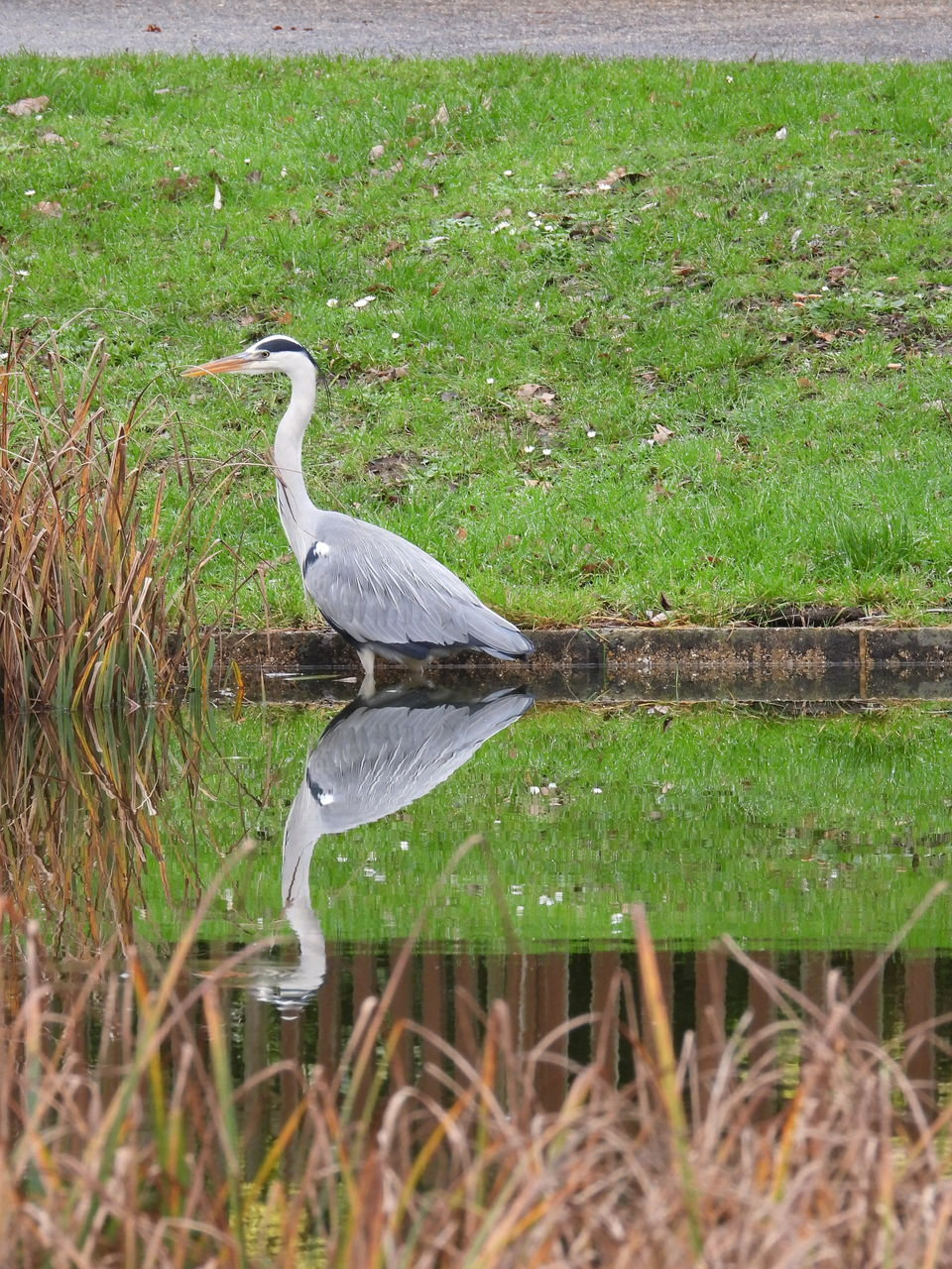animals in the wild, animal wildlife, animal, vertebrate, bird, animal themes, grass, plant, one animal, heron, water, no people, perching, nature, land, day, green color, water bird, beauty in nature, outdoors