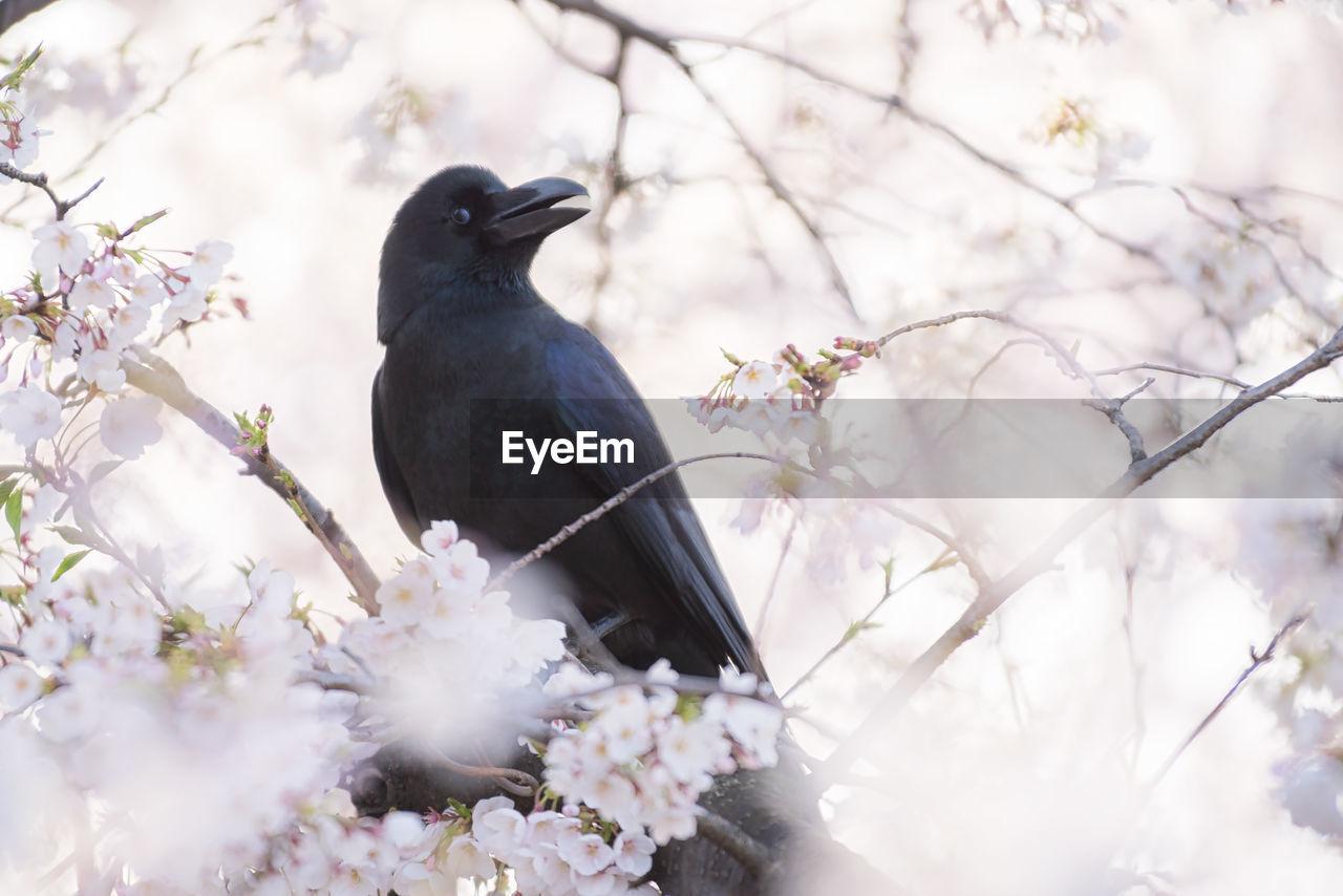 Black bird perching on a cherry blossom