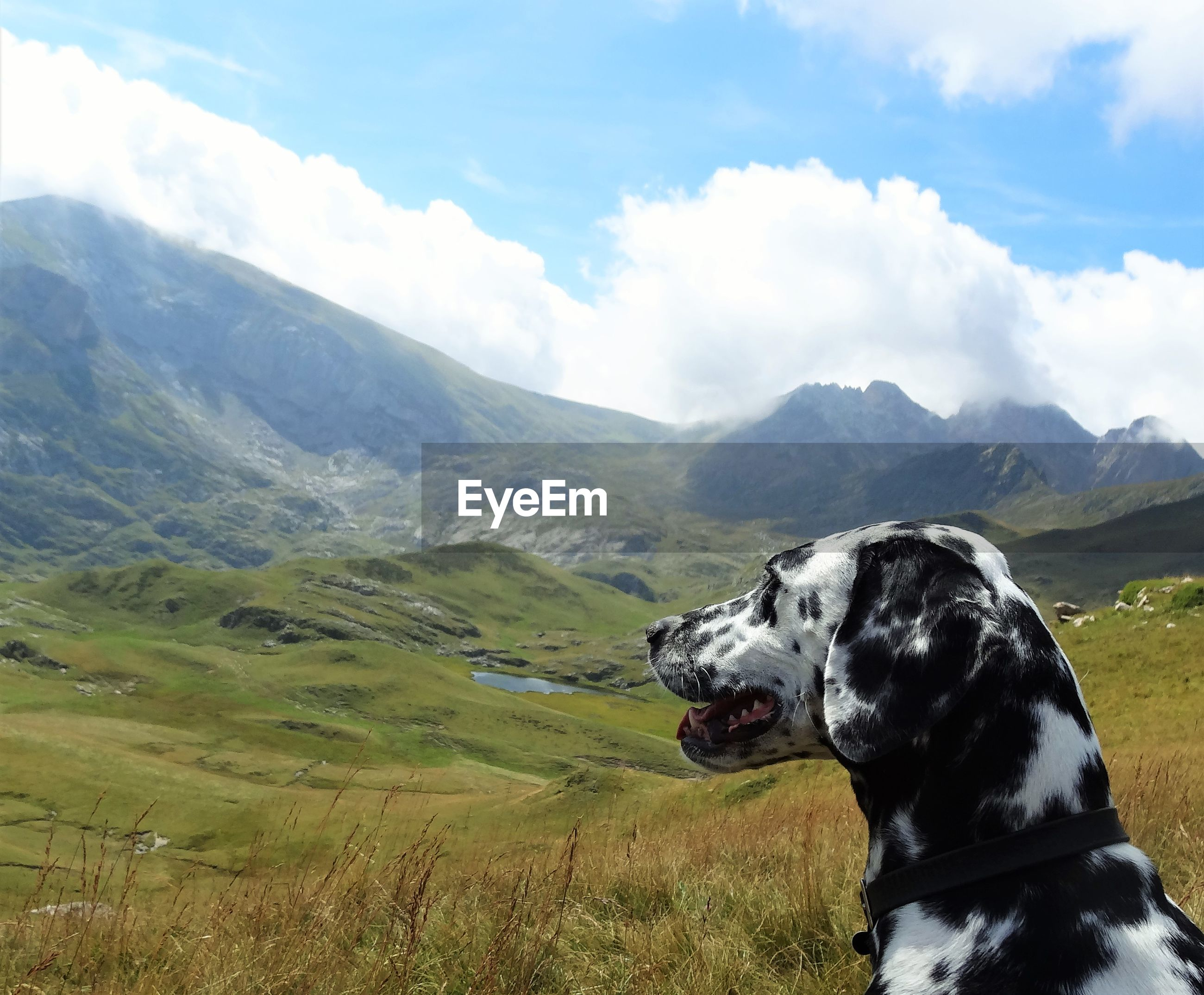 Dalmatian on grassy field looking at mountains against cloudy sky