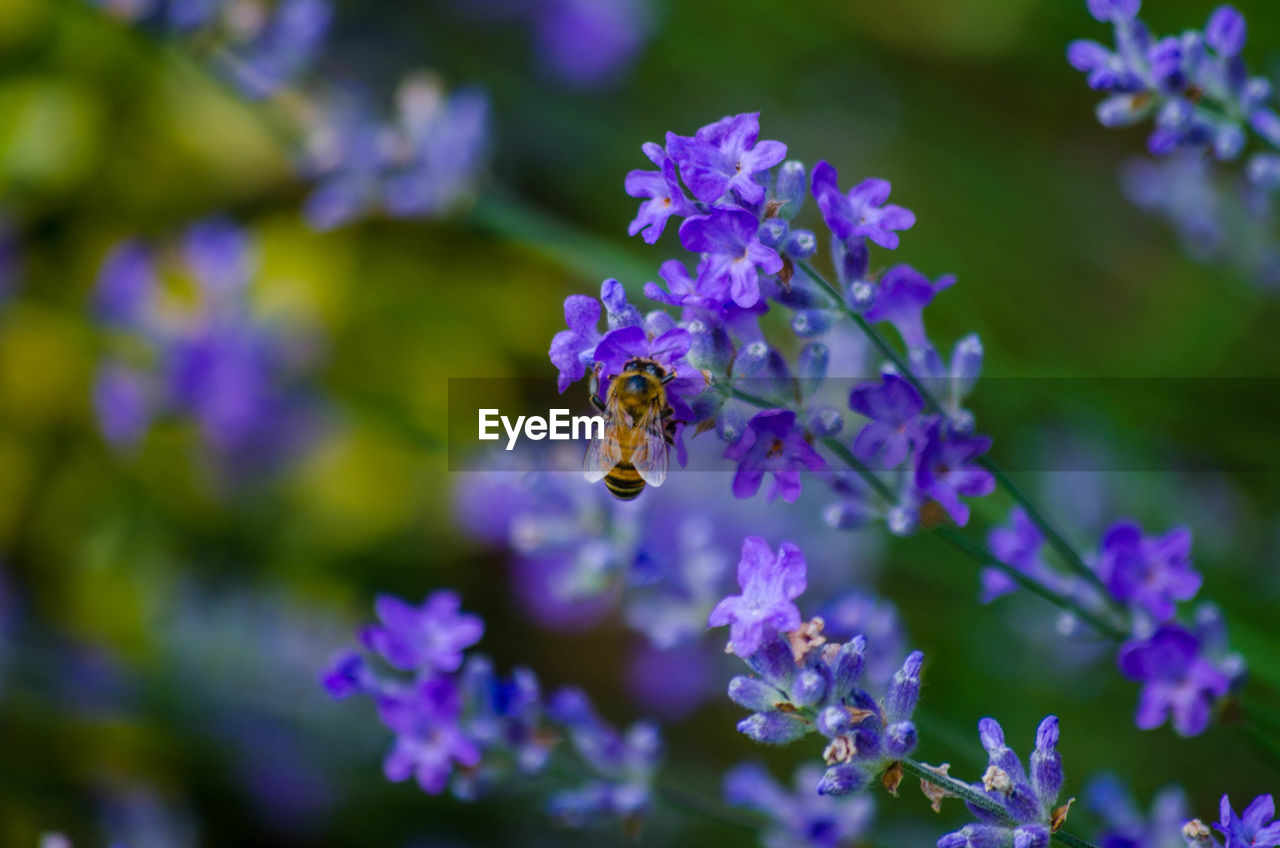 flower, flowering plant, plant, vulnerability, fragility, beauty in nature, animals in the wild, animal, animal themes, one animal, invertebrate, insect, bee, animal wildlife, freshness, petal, growth, purple, close-up, pollination, flower head, no people, lavender
