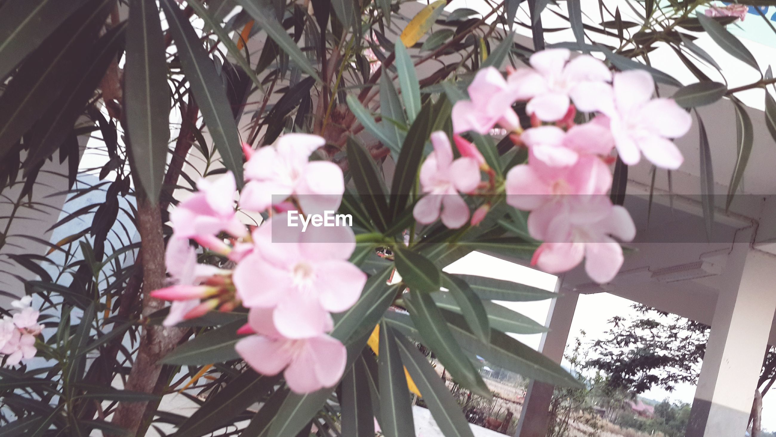 flower, freshness, fragility, growth, petal, pink color, beauty in nature, nature, blooming, flower head, blossom, in bloom, branch, close-up, tree, low angle view, plant, day, springtime, no people