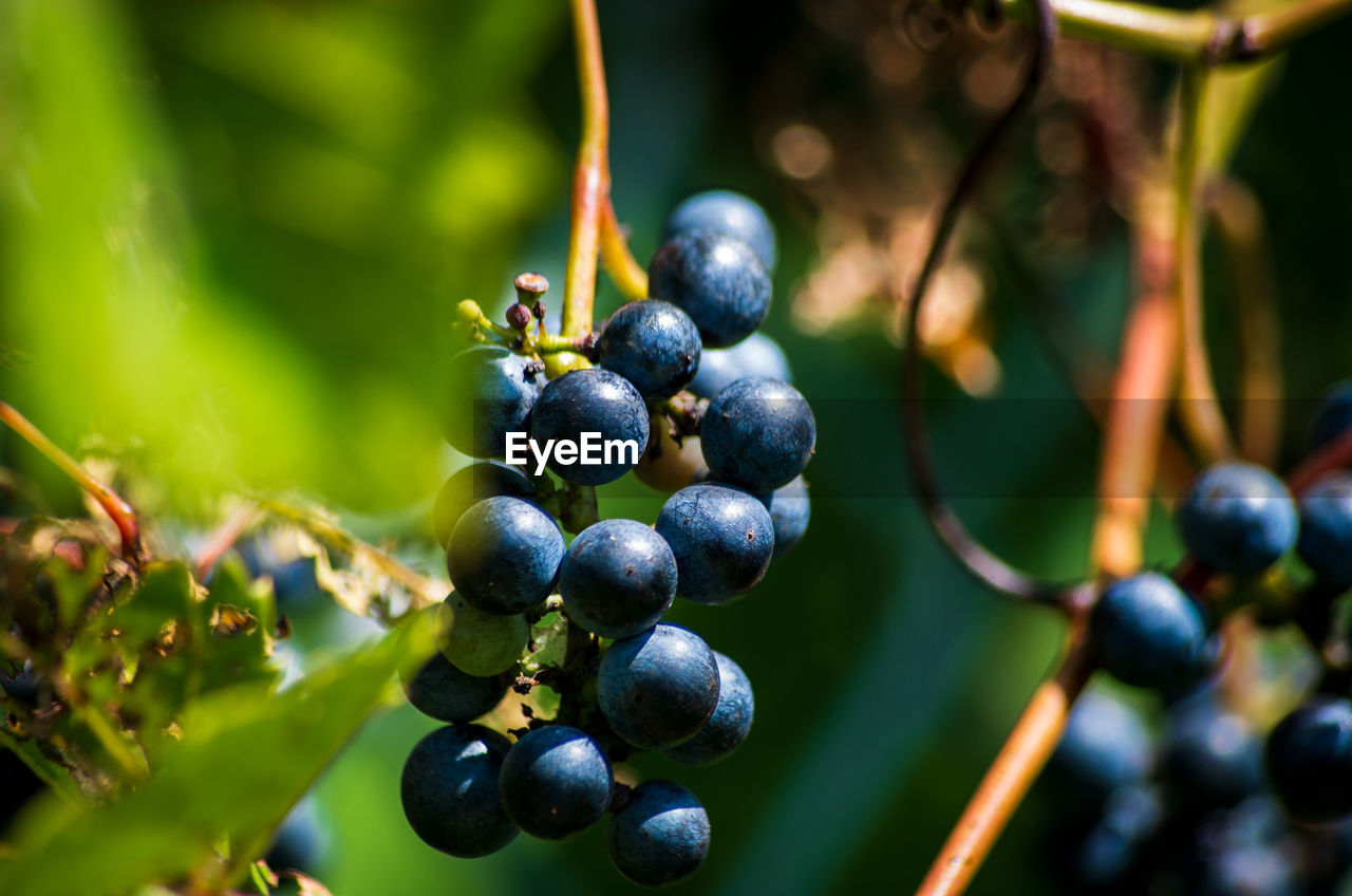 food, fruit, healthy eating, growth, food and drink, freshness, berry fruit, plant, no people, wellbeing, day, close-up, nature, plant part, leaf, grape, focus on foreground, green color, selective focus, agriculture, ripe, winemaking