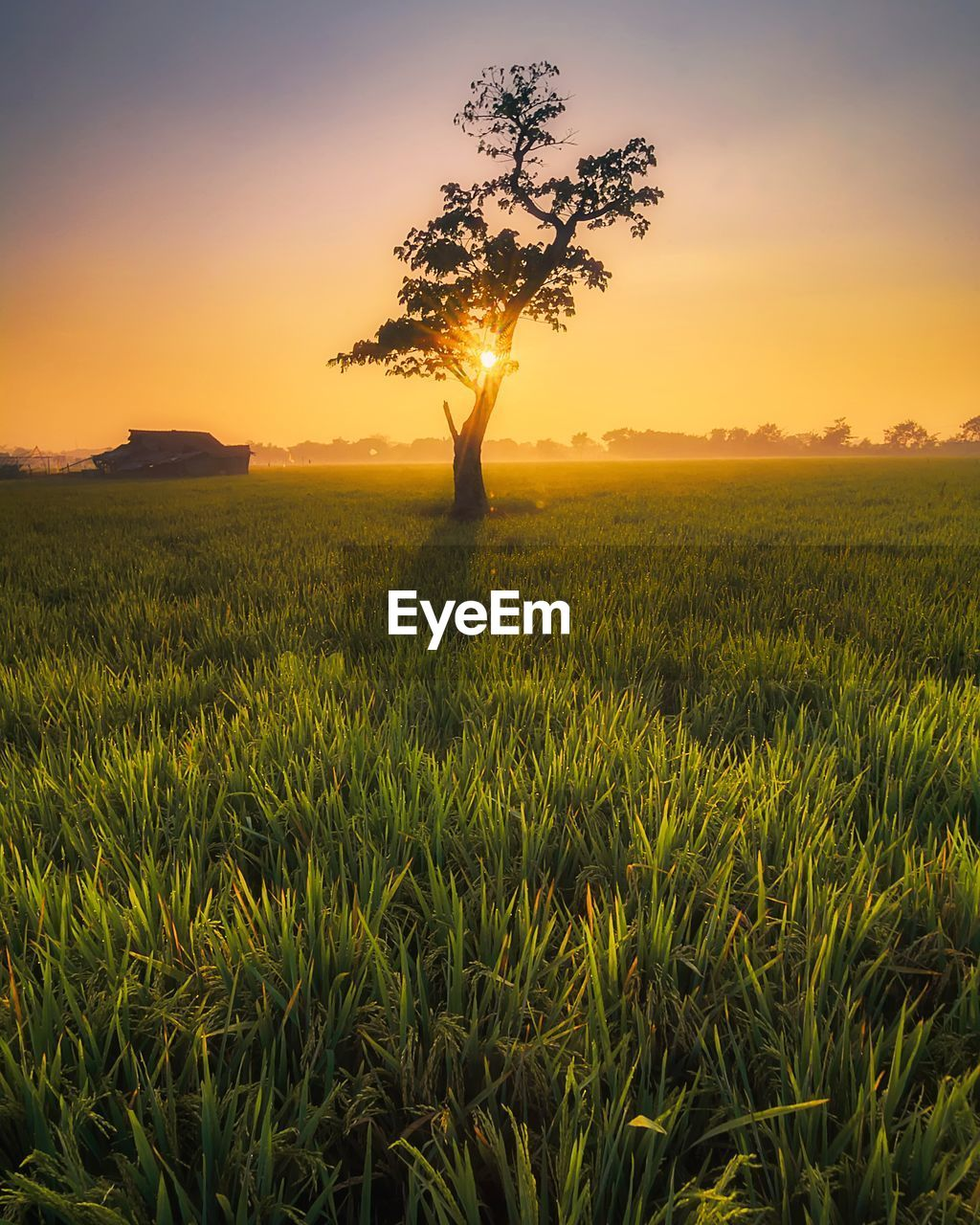 plant, sunset, beauty in nature, growth, field, sky, landscape, environment, scenics - nature, land, tranquility, tranquil scene, agriculture, crop, tree, rural scene, green color, farm, nature, no people, outdoors
