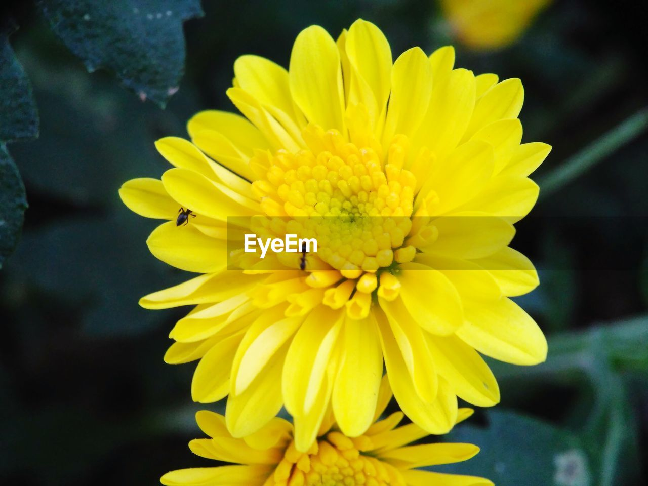 flowering plant, flower, yellow, petal, vulnerability, fragility, freshness, flower head, beauty in nature, plant, growth, inflorescence, close-up, focus on foreground, pollen, nature, day, no people, outdoors, pollination