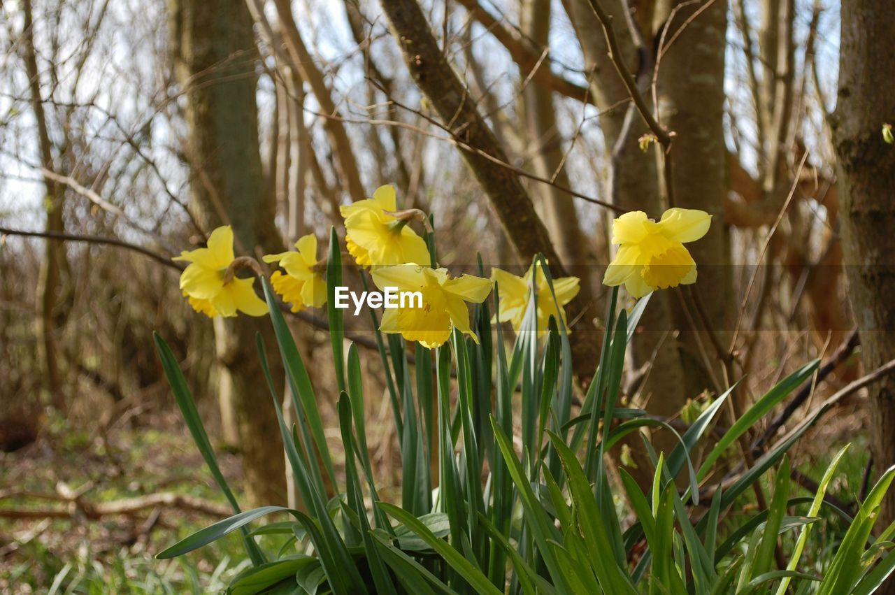 flower, yellow, growth, daffodil, nature, plant, petal, fragility, field, spring, beauty in nature, blooming, no people, freshness, outdoors, day, close-up, flower head