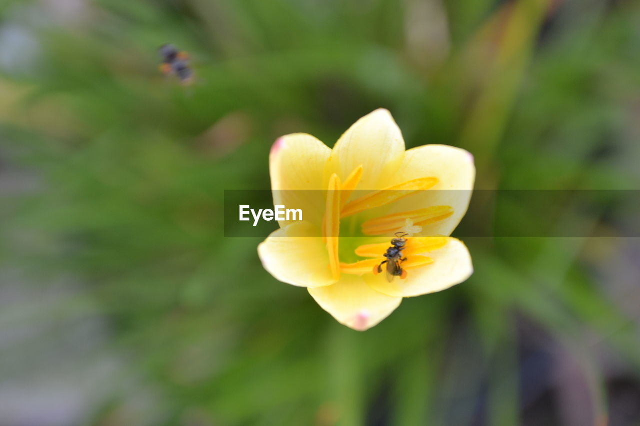 flower, petal, nature, beauty in nature, insect, one animal, fragility, growth, animal themes, bee, flower head, yellow, animals in the wild, freshness, outdoors, day, focus on foreground, blooming, animal wildlife, no people, close-up, plant, pollination, buzzing