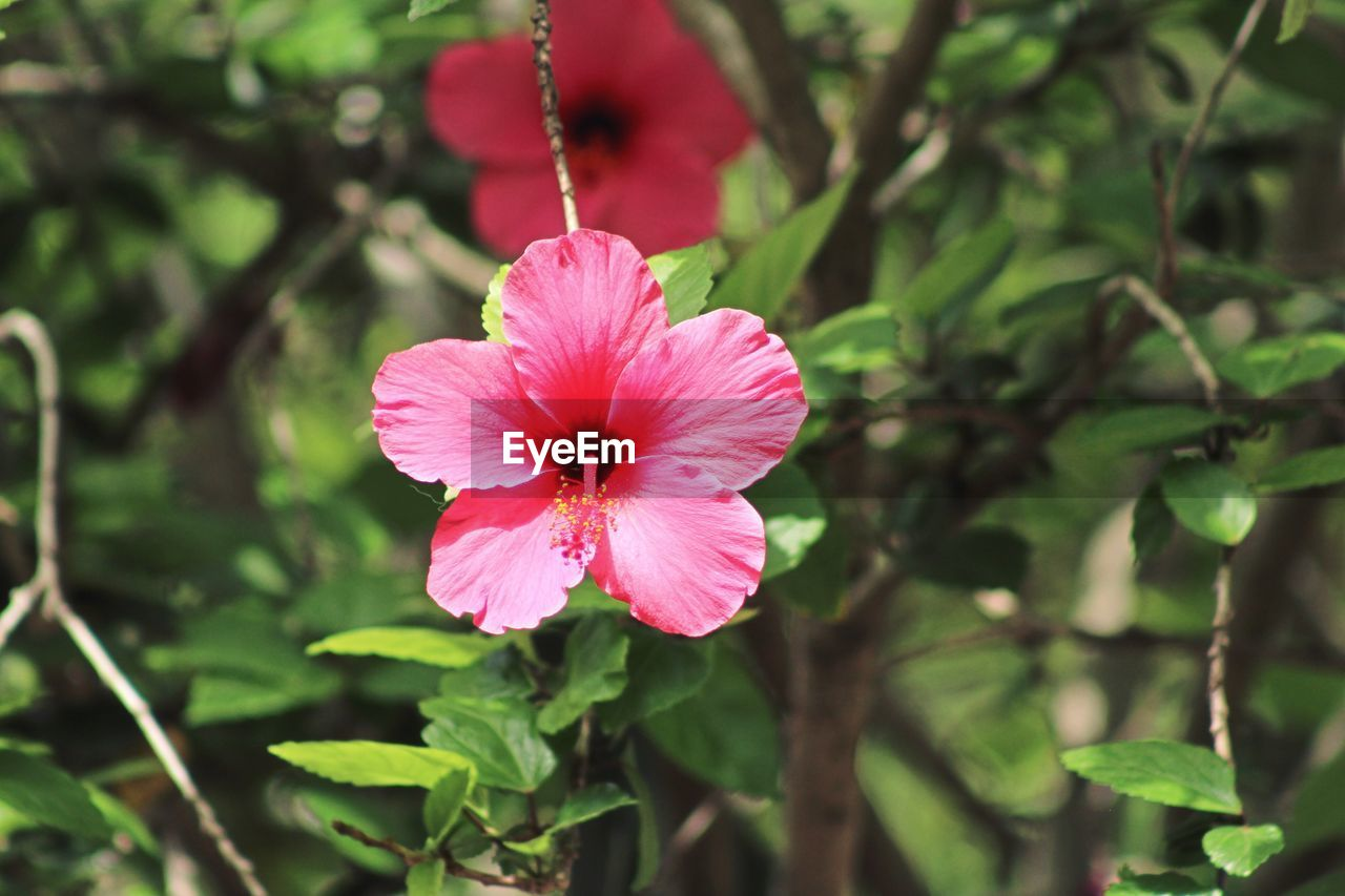 flower, pink color, fragility, nature, flower head, growth, red, petal, day, hibiscus, beauty in nature, focus on foreground, close-up, freshness, outdoors, no people, blooming, plant