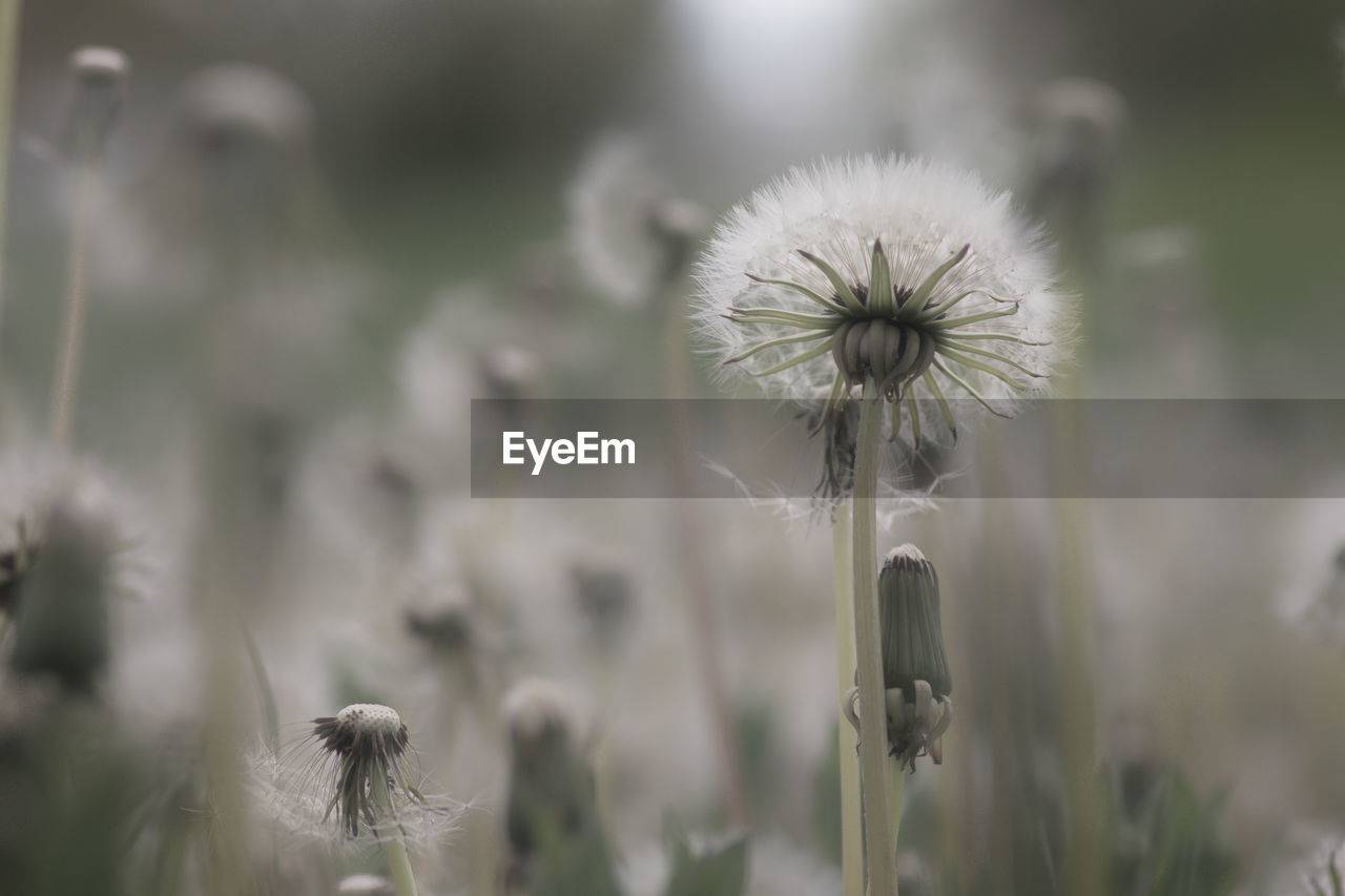 flower, fragility, nature, growth, dandelion, focus on foreground, plant, flower head, white color, softness, beauty in nature, freshness, day, close-up, outdoors, no people