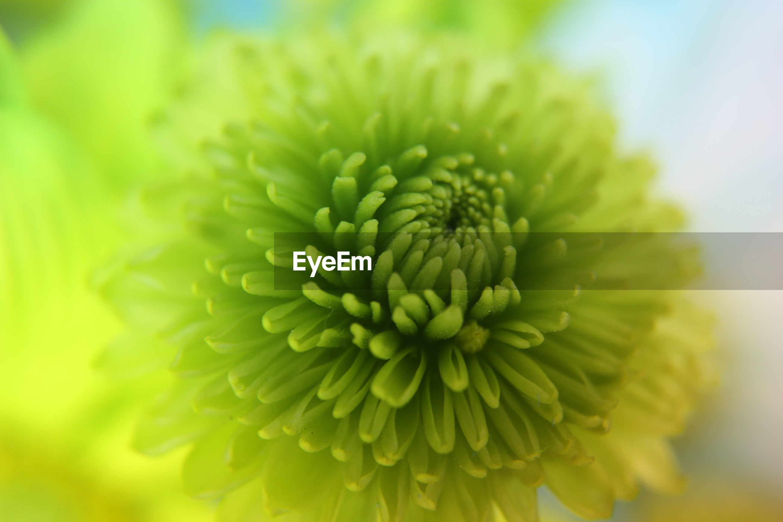 CLOSE UP OF GREEN FLOWER
