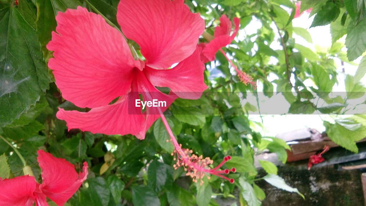 flower, growth, leaf, petal, nature, plant, fragility, outdoors, day, beauty in nature, freshness, green color, no people, blooming, pink color, flower head, close-up, hibiscus, petunia