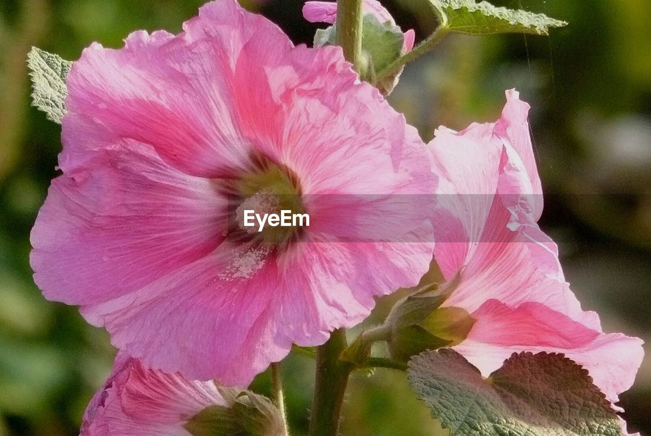 flower, petal, fragility, flower head, nature, beauty in nature, growth, pink color, day, plant, freshness, no people, outdoors, blooming, focus on foreground, close-up, water, hibiscus, petunia
