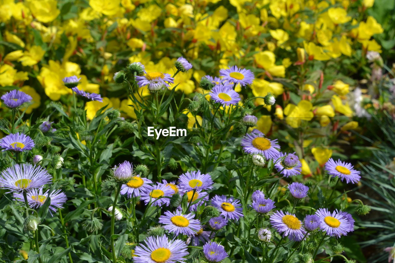 flowering plant, flower, freshness, fragility, vulnerability, plant, growth, beauty in nature, petal, flower head, inflorescence, yellow, close-up, nature, day, no people, field, land, botany, outdoors, springtime, flowerbed, pollen, purple